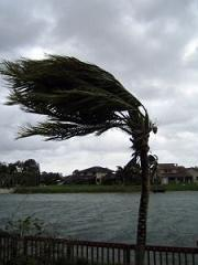 Hurricane_palm_treesm